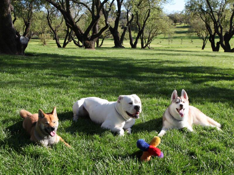 Asian dogs with Bulldog-image.