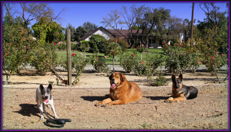 Hunting Dog Training Roseville Ca