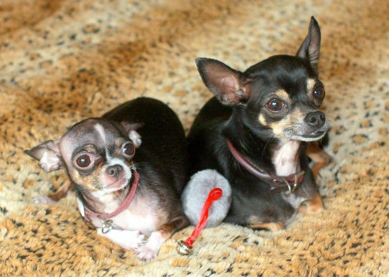 chihuahuas on the bed