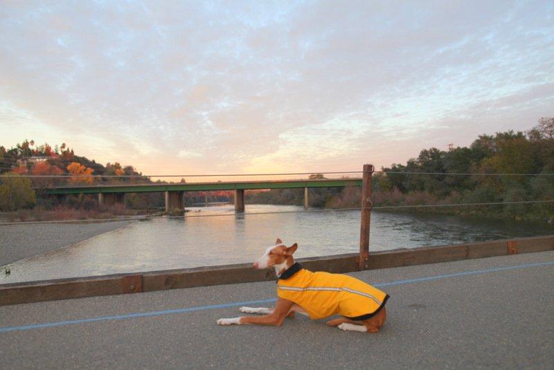 Emotional Assistance Service Dog Laws