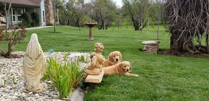 trained service dogs for sale