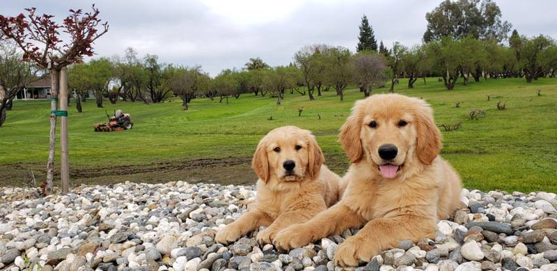 Service Dogs For Sale