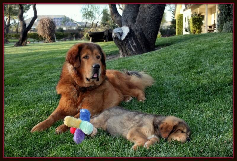 TIBETAN MASTIFF PUPPIES FOR SALE | Superdog Service Dogs
