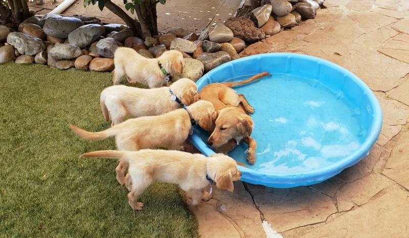 SERVICE DOGS FOR SALE | Superdog Service Dogs