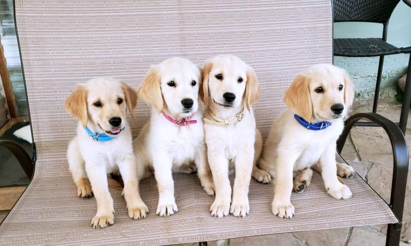 Service Dogs For Superdog Dog
