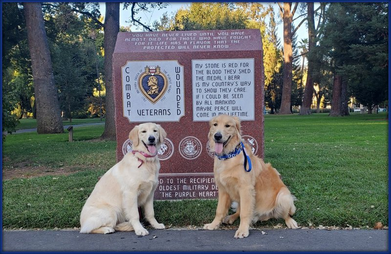 Golden Retriever Service Dogs for psychologists